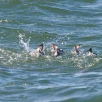 2017 銚子のカモメ・カモ・海鳥観察会記録 ハジロカイツブリの潜水