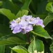 涼しげな紫陽花で