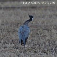 今日の鳥コレクション・・・アネハヅル