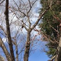 桜の開花情報・・・。