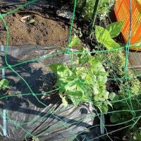 夏野菜の植え付け(その2)