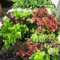 春野菜の種を蒔く季節を迎えました