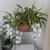 017 -050     我が家のランが今年も咲きました