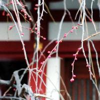 亀戸天神の梅、開花状況