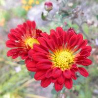 赤い小菊もチラチラと・・・