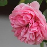 ☆咲き続ける庭バラ 10/21 ウリエルetc