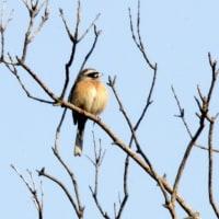 3/29探鳥記録写真(狩尾岬の鳥たち:ホウロクシギ、ハマシギ、シロチドリ他)