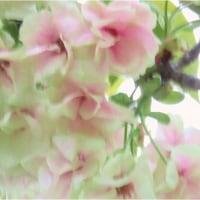 菊さくら・アメリカミズキ。