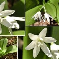 ツバメオモトの花は白くて清楚
