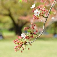 2017桜便り - 残花