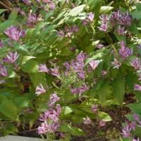 春播き栽培に適したソバ新品種「夏吉 (なつきち)」を育成