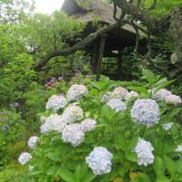 東慶寺 紫陽花と半夏生