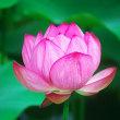 薬師池(町田市)の蓮の花です。