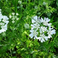 純白の花オルレイヤ