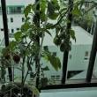 No.2768  我が家のミニトマト