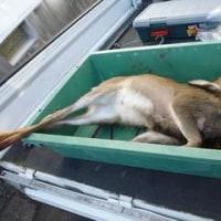 11月11日有害鳥獣捕獲「鹿」