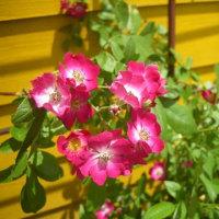 今のファームと 最近のバラ達~