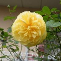 淡い黄色のバラと赤のアネモネ