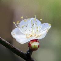 庭に咲いた白梅