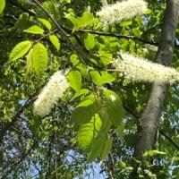 ハナイカダの花は始めから付いていた。