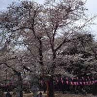 今年は桜も