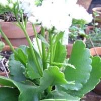 カランコエ(Kalanchoe blossfeldiana)の花