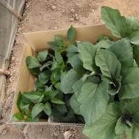 夏野菜苗が到着
