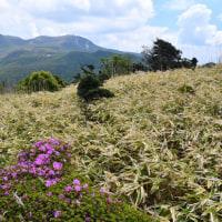 くじゅうの ミヤマキリシマ ~ 2017年5月17日_パラパラ咲き始めました。