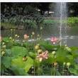修景池の蓮 1