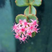ミセバヤの花