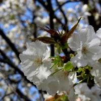 花のまわりみち 八重桜イン広島