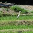 倉沢の棚田で獲物を狙うカラス