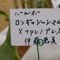 「第12回秋の洋ラン展」のブルボ・ロンギッシマム×ファレノプシス 2016年12月2日(金)