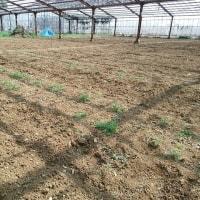 2017年3月20日 堆肥を畑に埋めました。