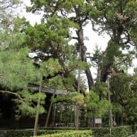 京都 大徳寺のイブキ