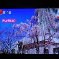 3/23 森田さんの 満開 ほぼ満開