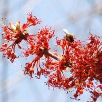 樹木ウォッチング冬から夏へ173ルブルムカエデ2