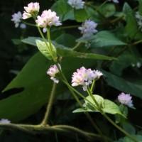 ミゾソバ(タデ科・イヌタデ属)一年草