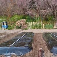 ピーマンの畝を仕上げました。