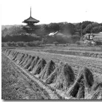刈り取り後の風景