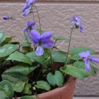 スミレの育て方3月 スミレの花を楽しむ  日本スミレの開花7番目 カンアオイの鉢から