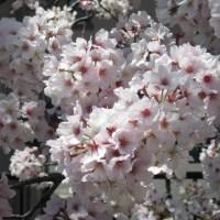 散歩道の春 其の参