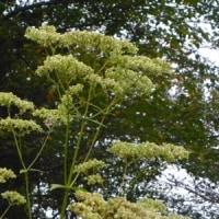 林縁のオトコエシの花のあと