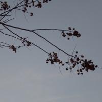 今日の我が家のムクロジ;葉っぱがかなり落ちまして・・・実だけが残っています。