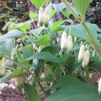 イカリソウとアマドコロの花