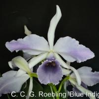 カトレア・シー・ジー・レブリング'ブルーインディゴ'(C. C. G. Roebling 'Blue Indigo')