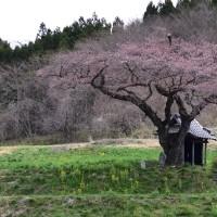 No.650 桜速報・不動桜~合戦場の桜