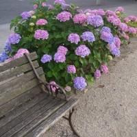 マラソン道路の【紫陽花】散歩