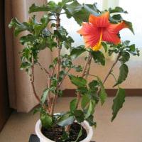 十二月になり、シャコバも咲きはじめました