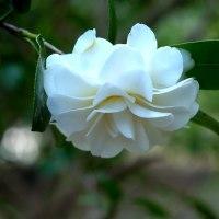 八重咲きの椿・「白菊」が咲いていました